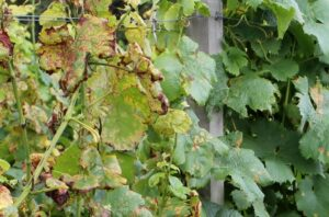 Peronospora Befall der Weinrebe