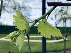 Falscher Mehltau durch nasses Weinblatt