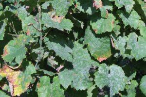 Oidium an Blättern der Weinrebe
