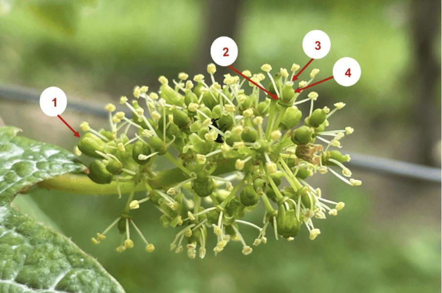 Infektion mit Botrytis während der Blüte